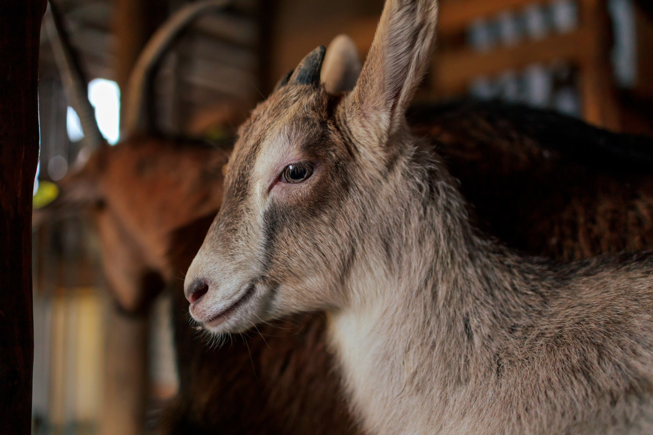 Portrait of a young goat or goat kid