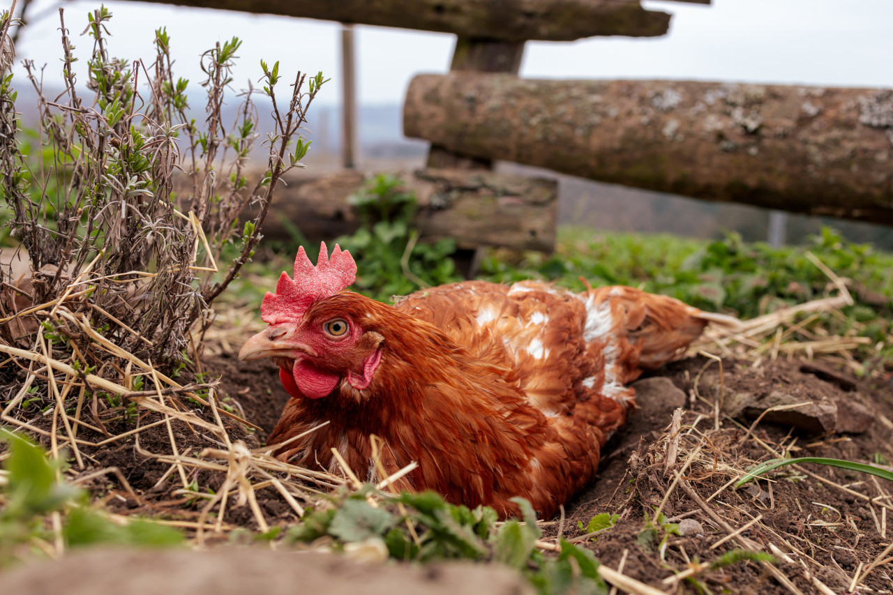 Chicken sits in a hollow in the ground