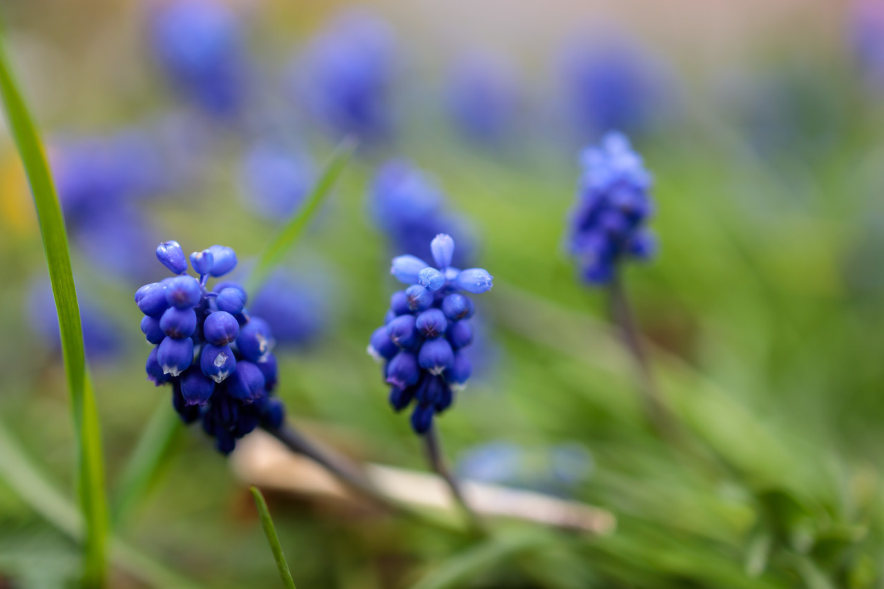 lue blooming hyacinths