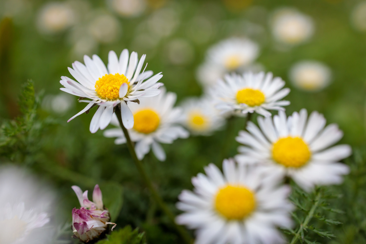 Daisy field in April