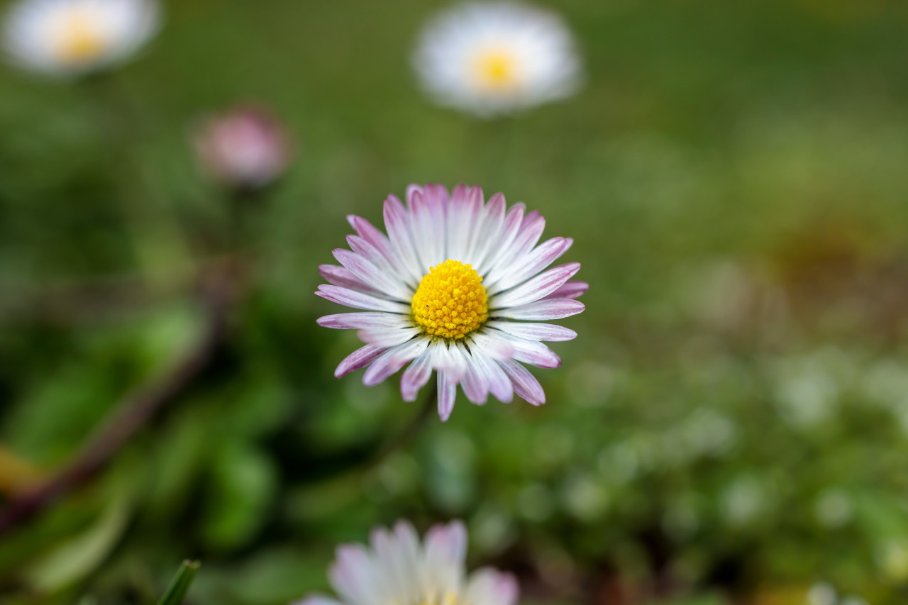 Daisies with pink accents on the tips of the leaves