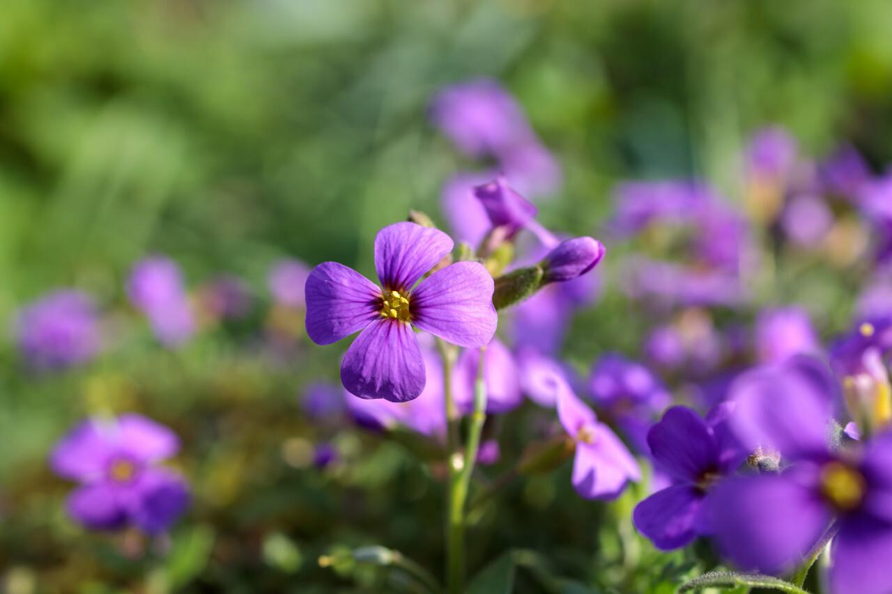Aubrieta deltoidea Flower