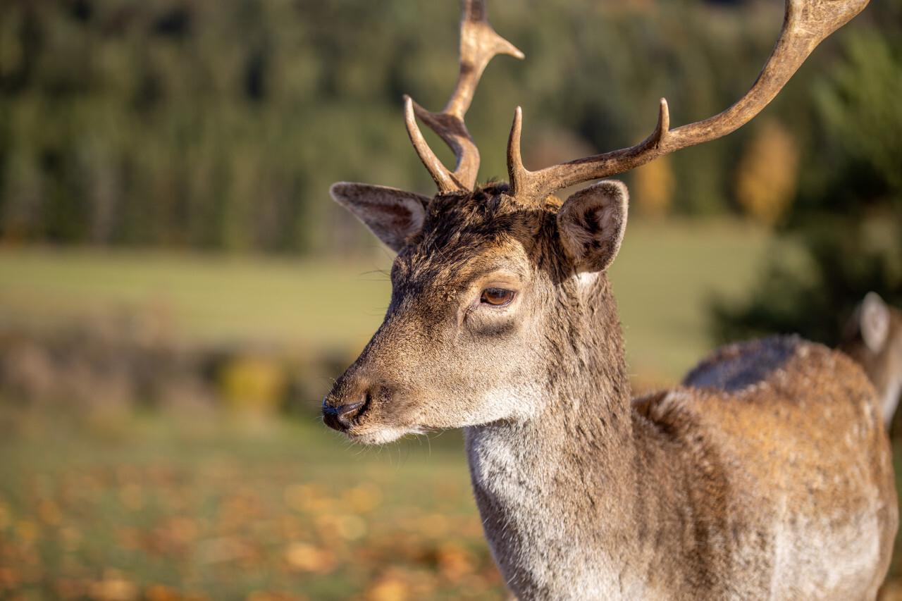 Portrait of a deer in Bavaria