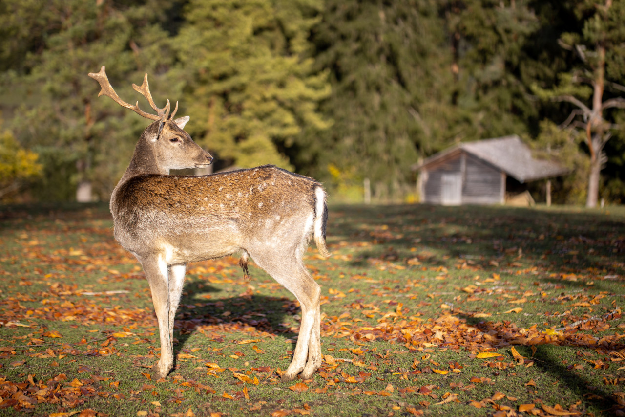 A deer stands in a forest clearing
