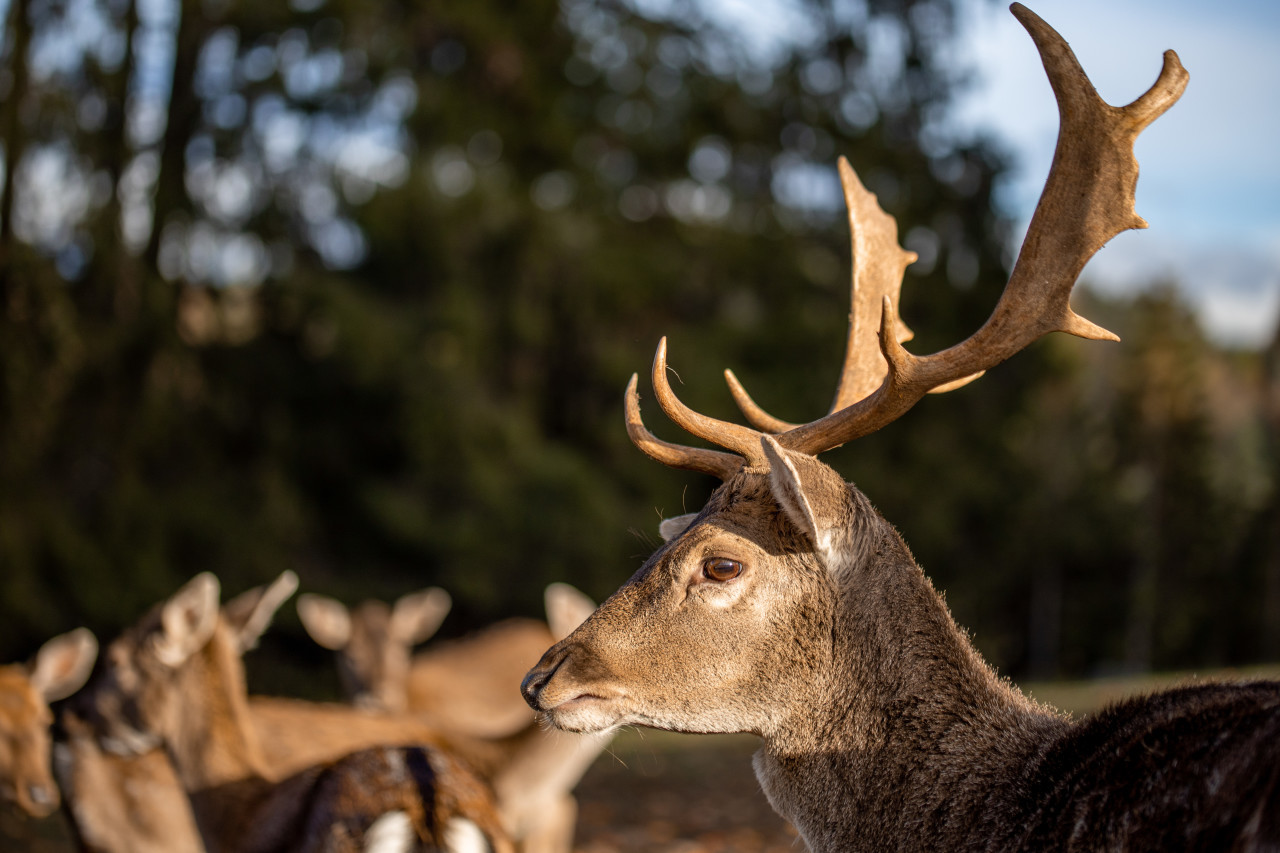 Deer with magnificent antlers