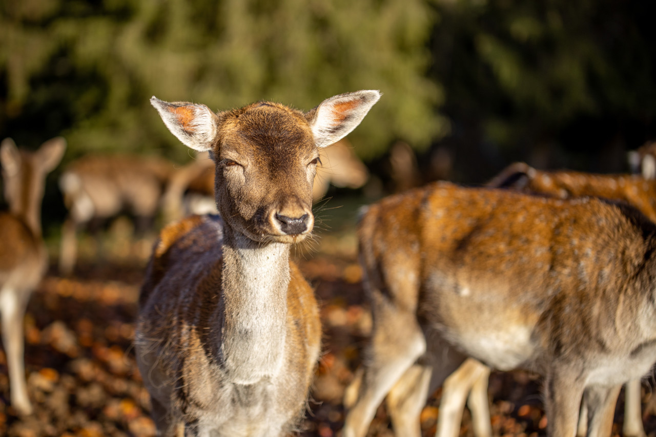 Female deer is blinded by the sun