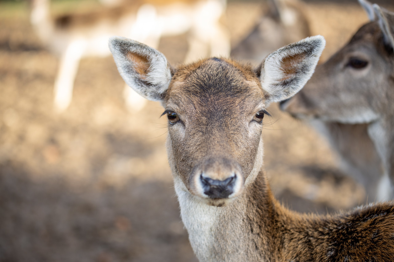 Face of a female deer close up