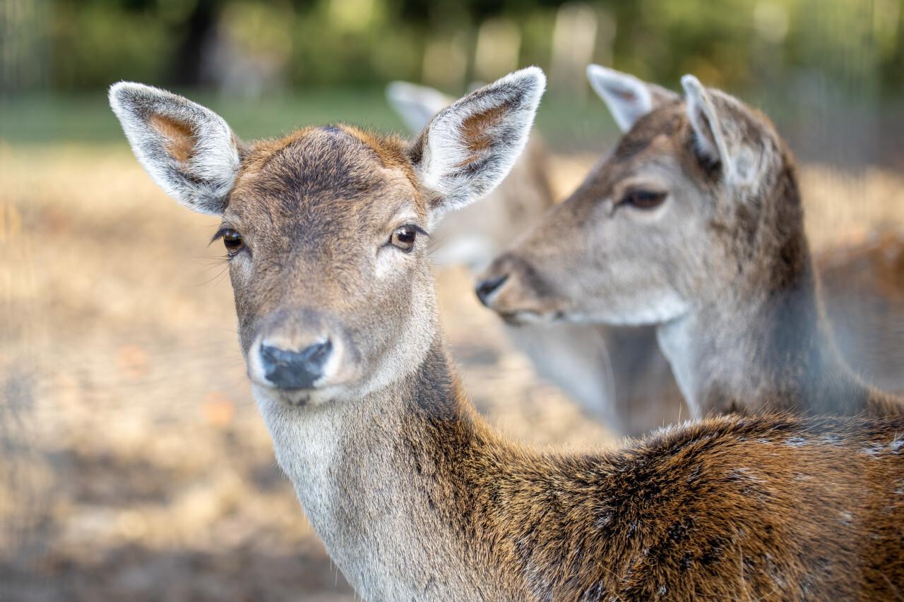 Cute female deer is looking at the camera
