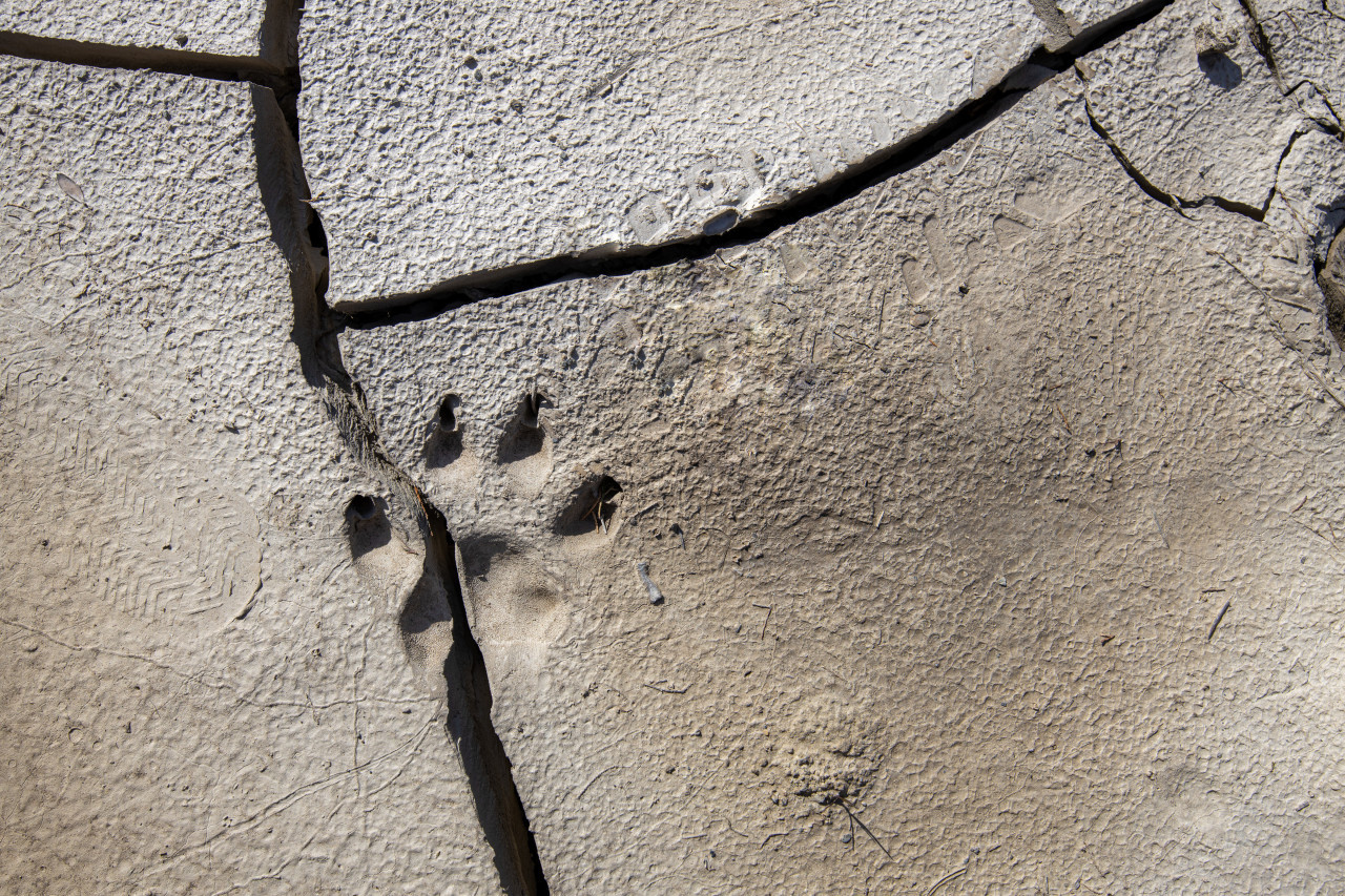 Footprint of a wolf in a dry water hole