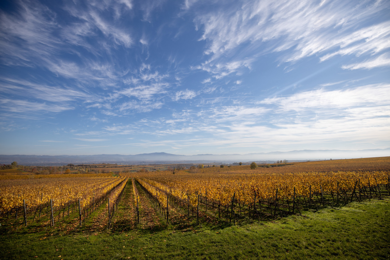 Golden vineyards in Germany near Freiburg