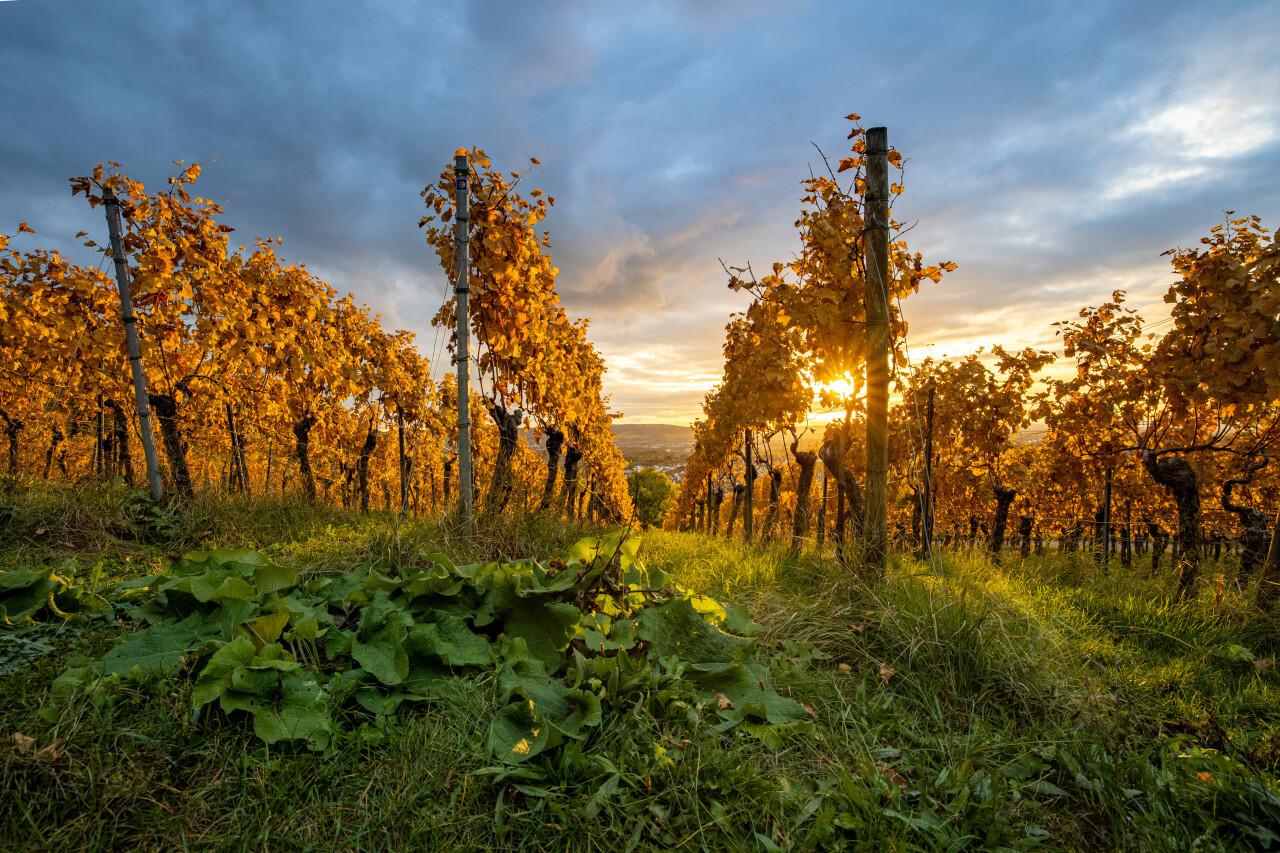 Golden grapevines in autumn