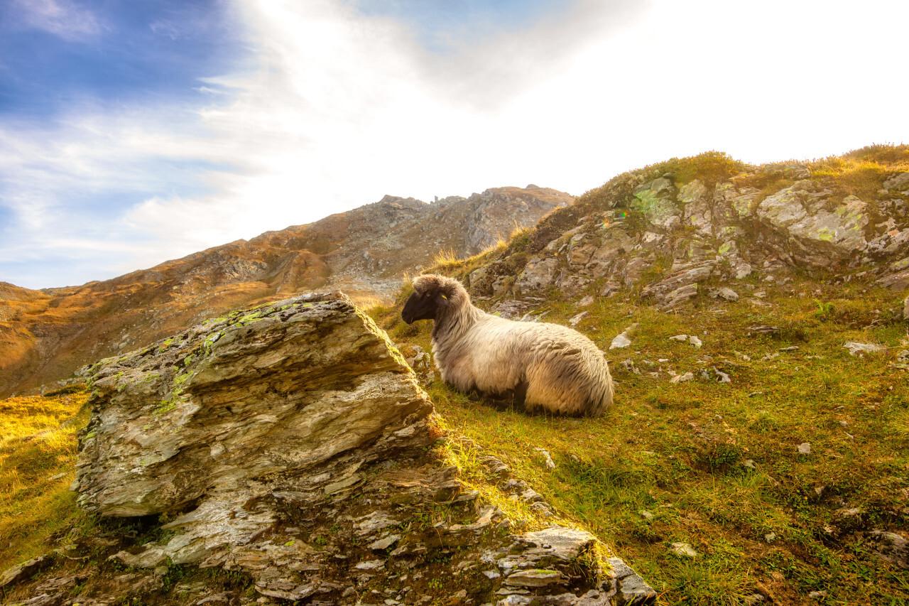 An alpine sheep enjoys the wonderful view