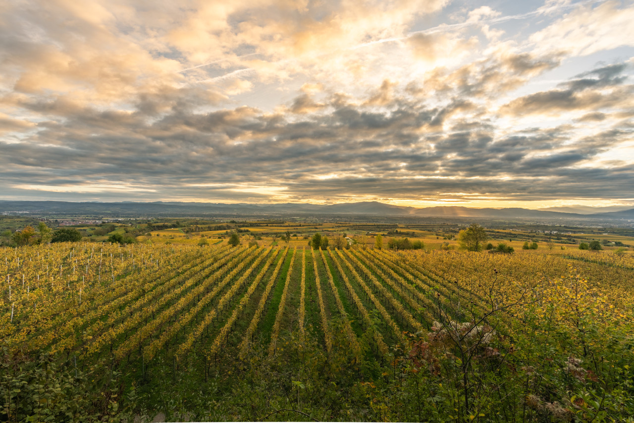 Beautiful sky over grapevines in Germany