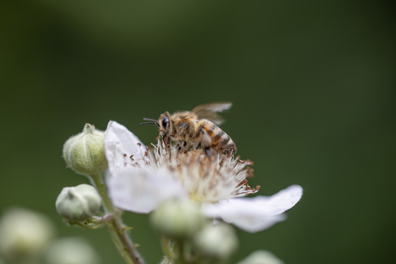 Bee collects nectar from a white flower