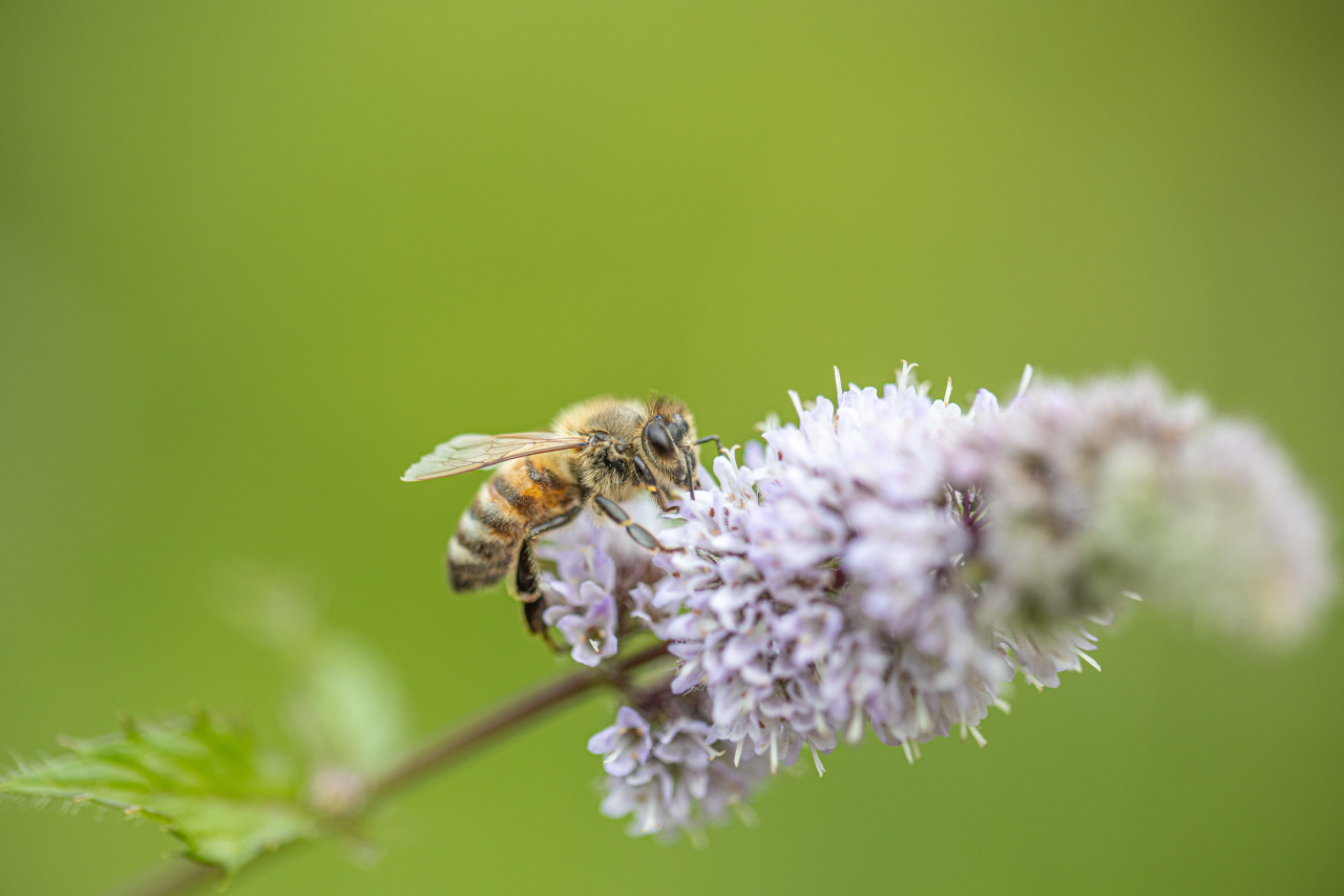 Bee on a blooming mint blossom