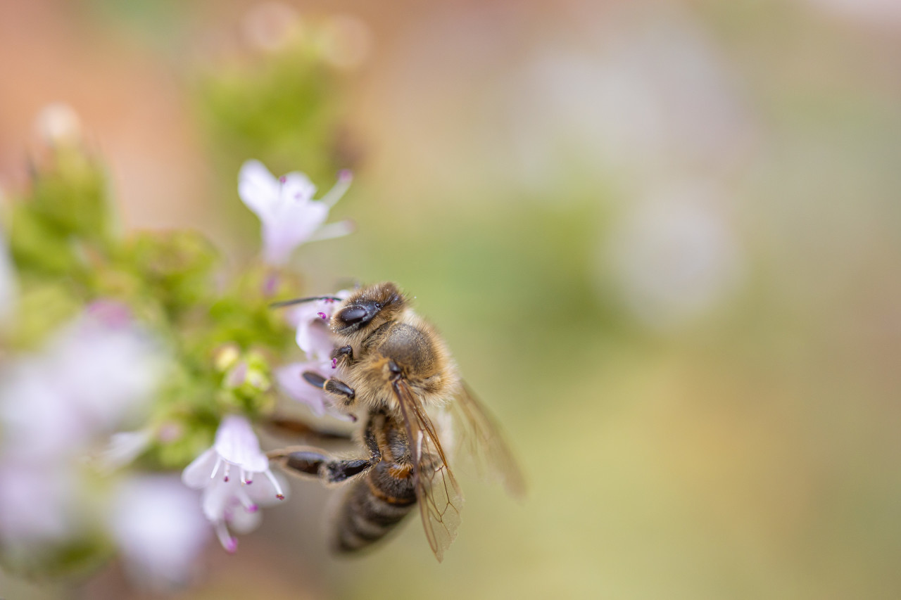 Honeybee Close-Up