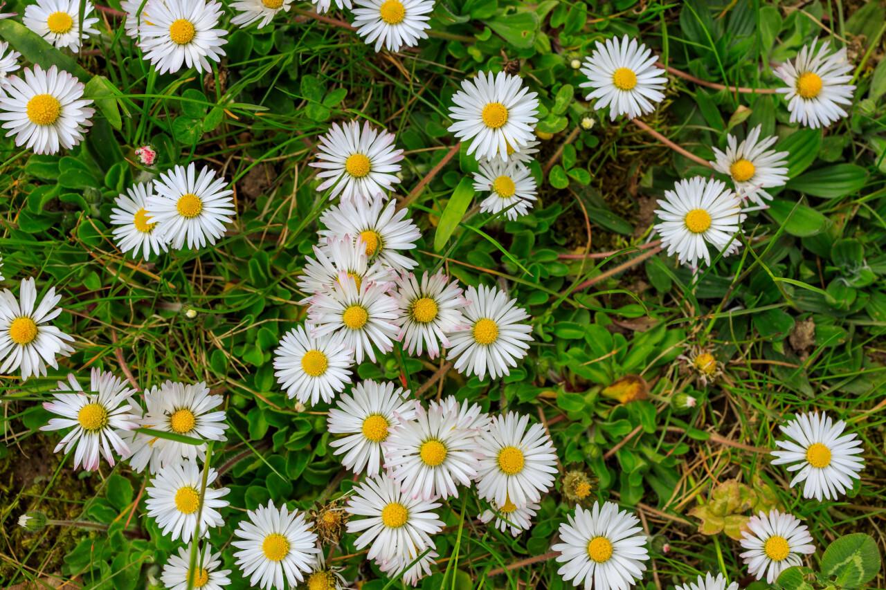 spring meadow daisy textur