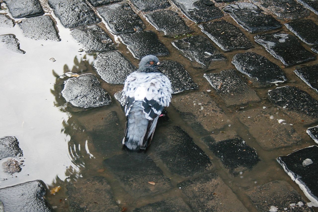 Pigeon in the puddle