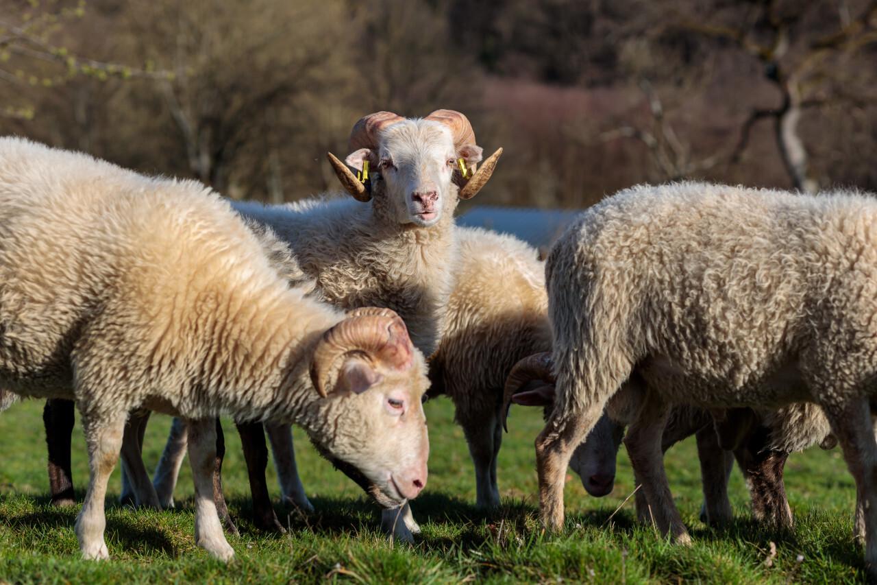 Sheep on meadow