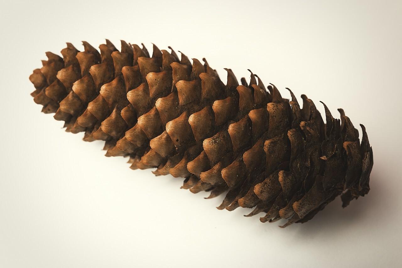 pinecone white background