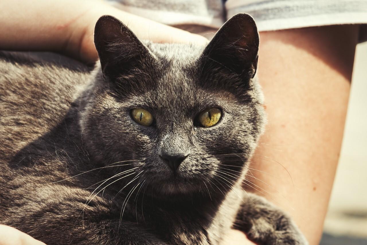 british shorthair cat cuddles