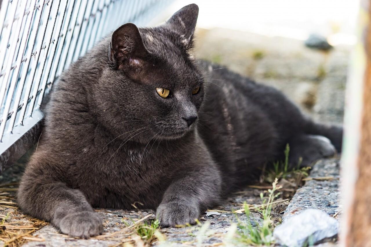 british shorthair cat lies in sun