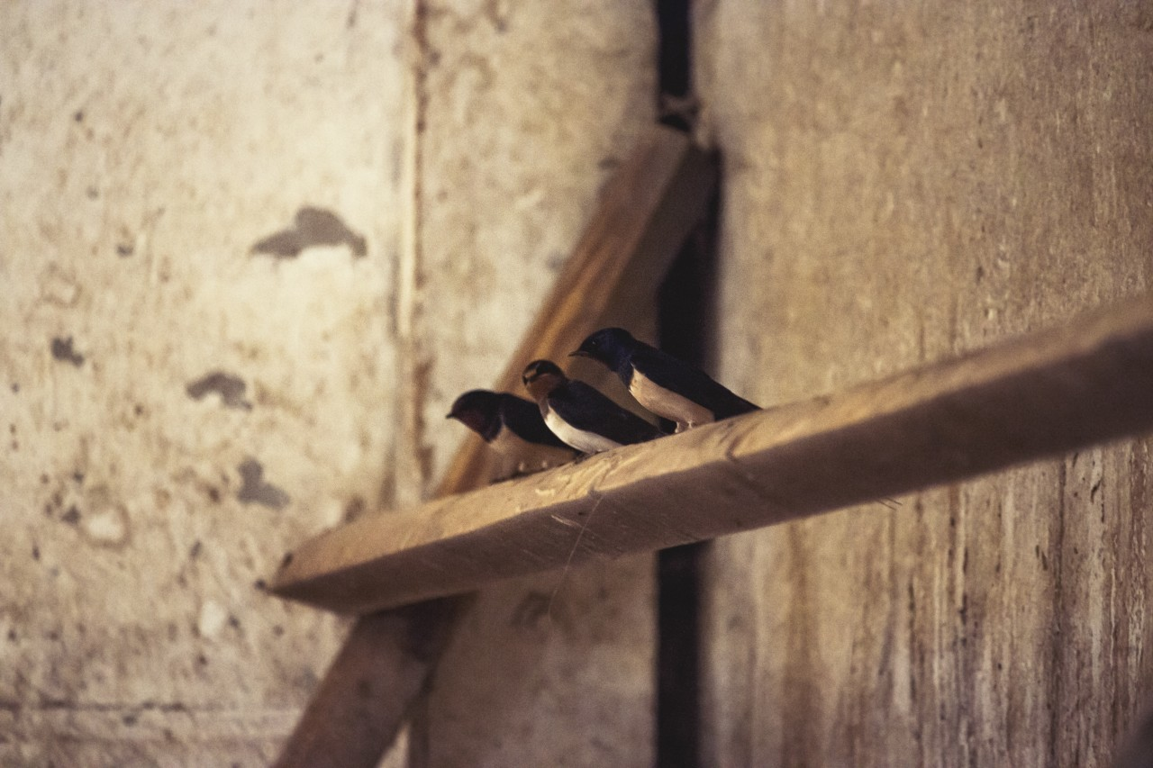swallows in a barn