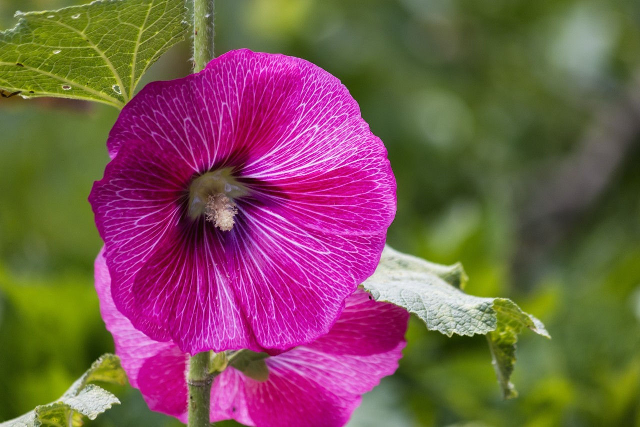 Ipomoea purpurea flowers in garden commonly called common morning glory