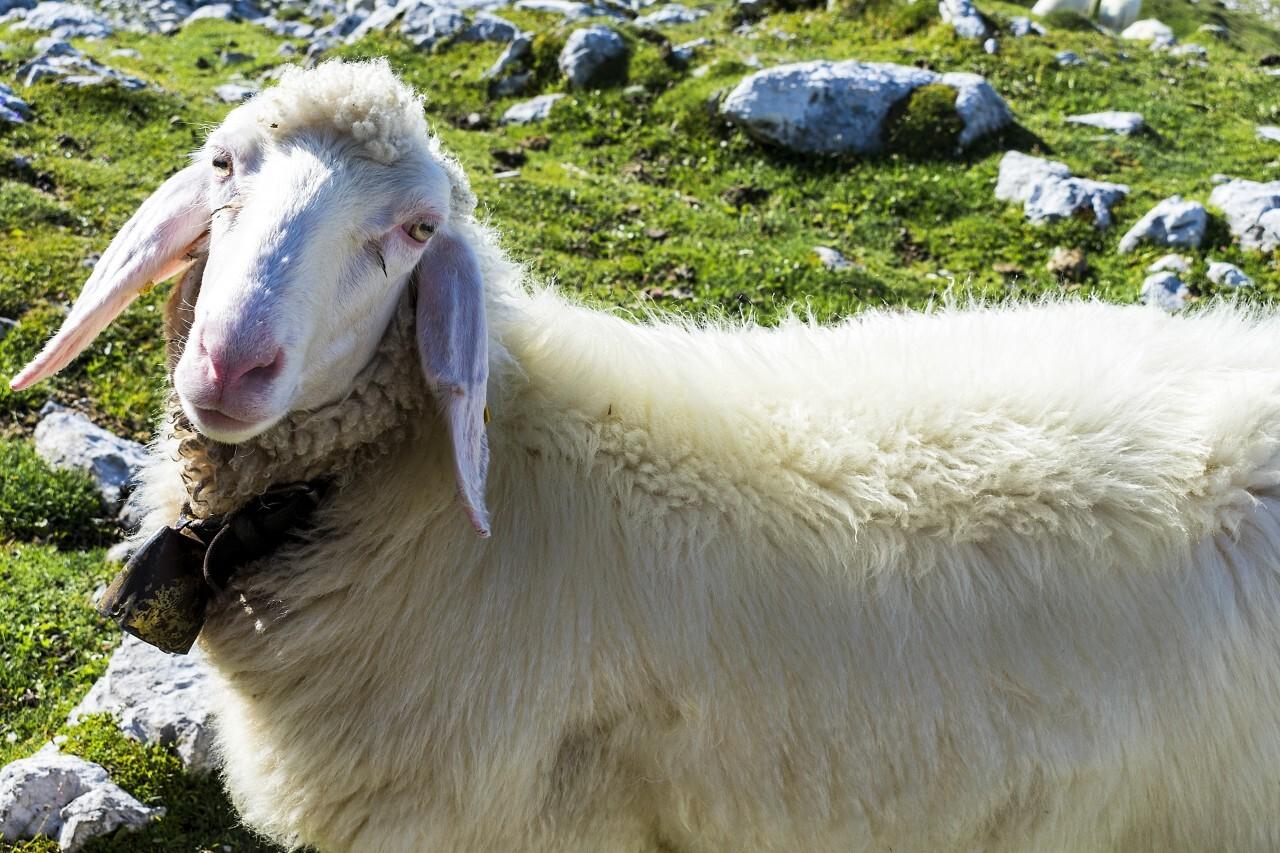 beautiful sheep grazing