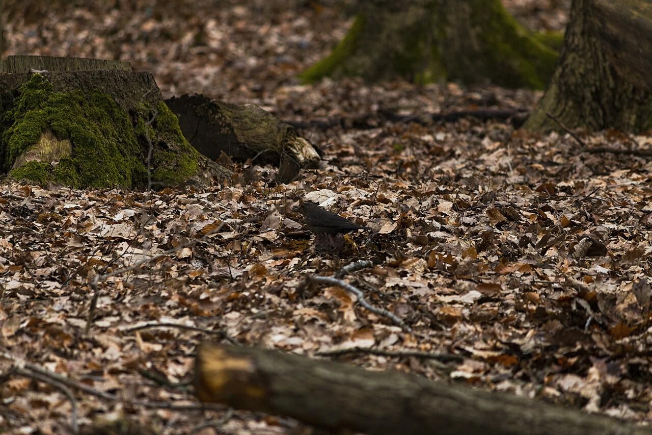 blackbird on forest floor