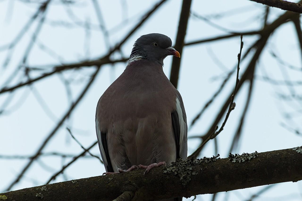 Grey ringdove bird