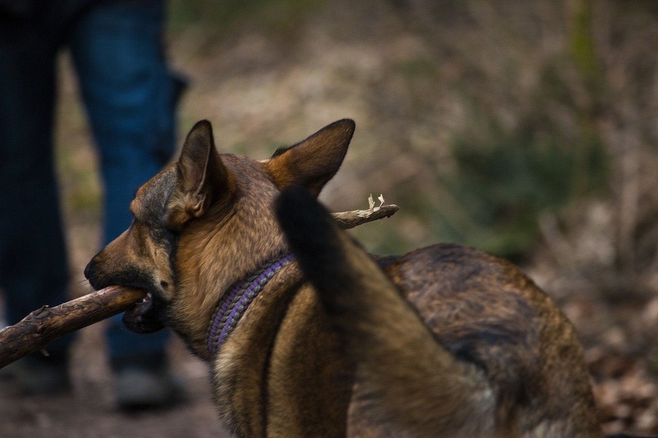 dog with stick in mouth behind owner