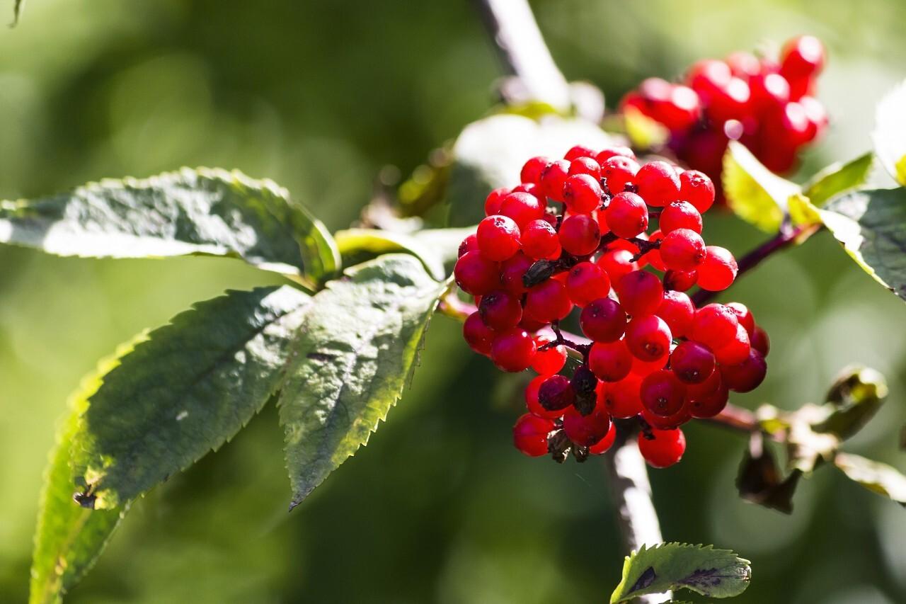 Rowan berries on a tree