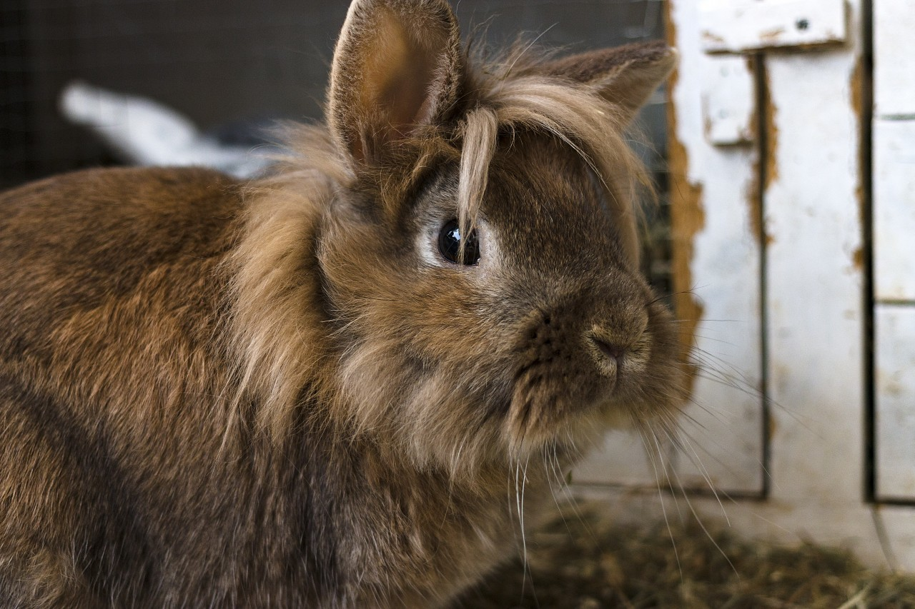 cute brown breeding rabbit portrait in front of his rabbit hutch