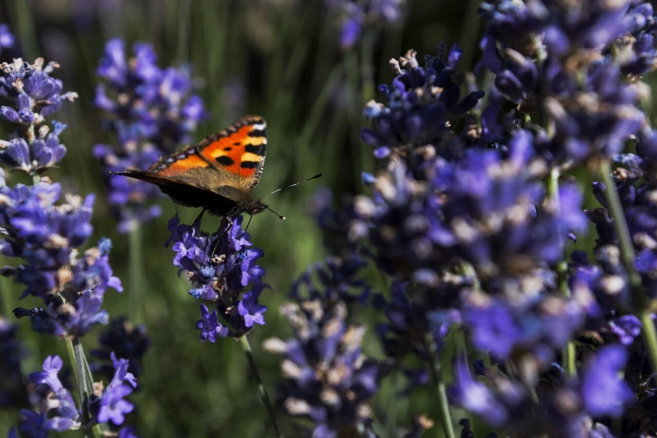 vanessa atalanta butterfly on  lavender