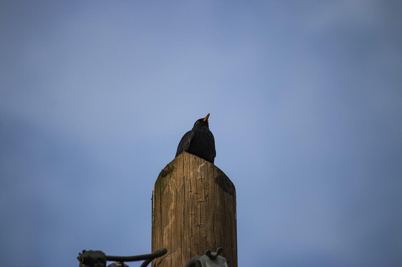 blackbird on power pole