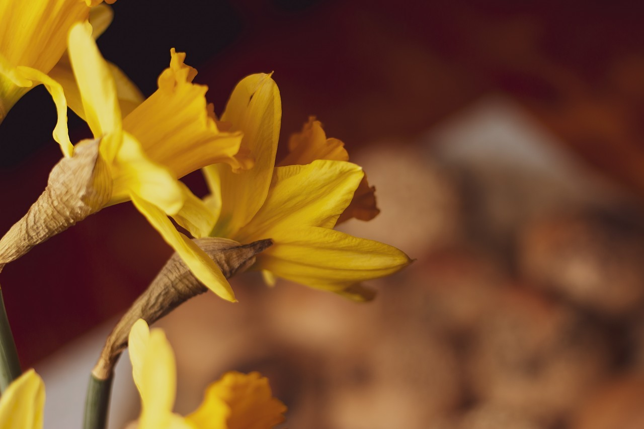 Narcissus Yellow Daffodils