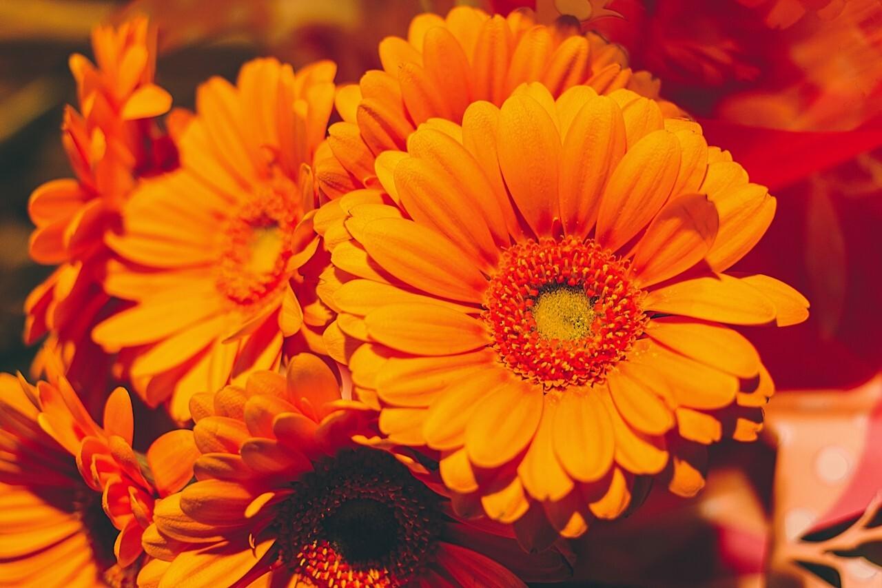 Closeup photo of orange daisy gerbera