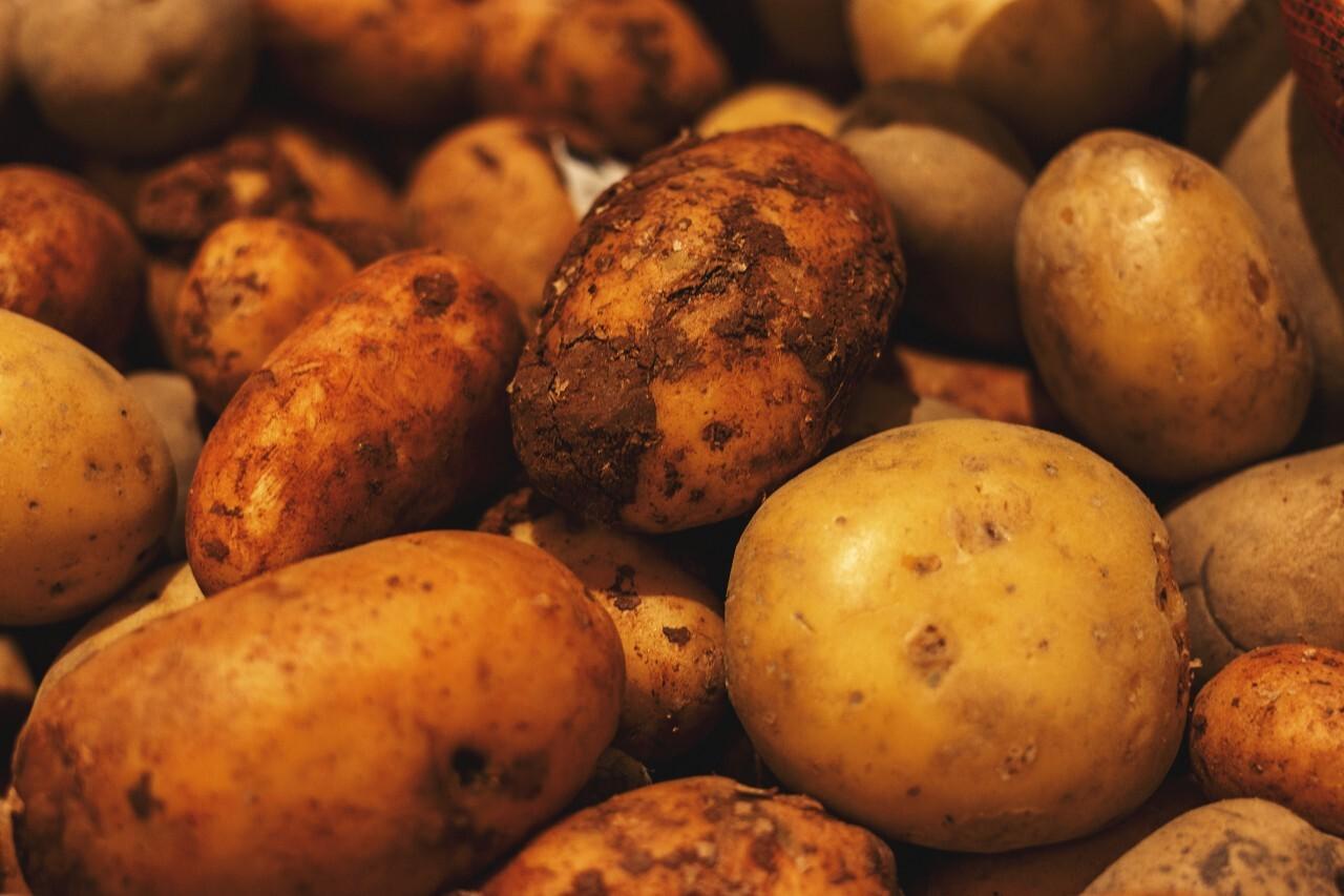 Fresh organic potatoes from the field
