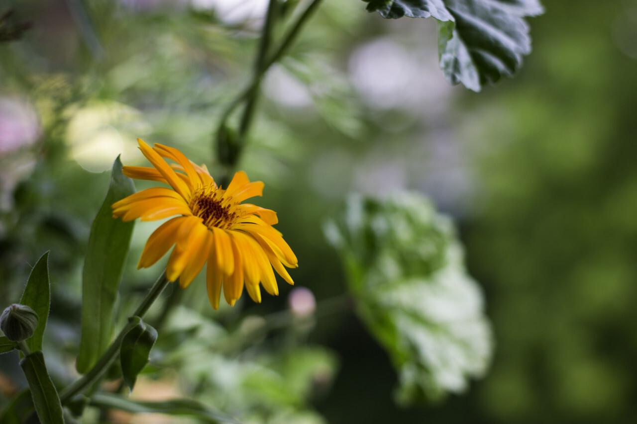Pot Marigold (Calendula officinalis) on blur background.