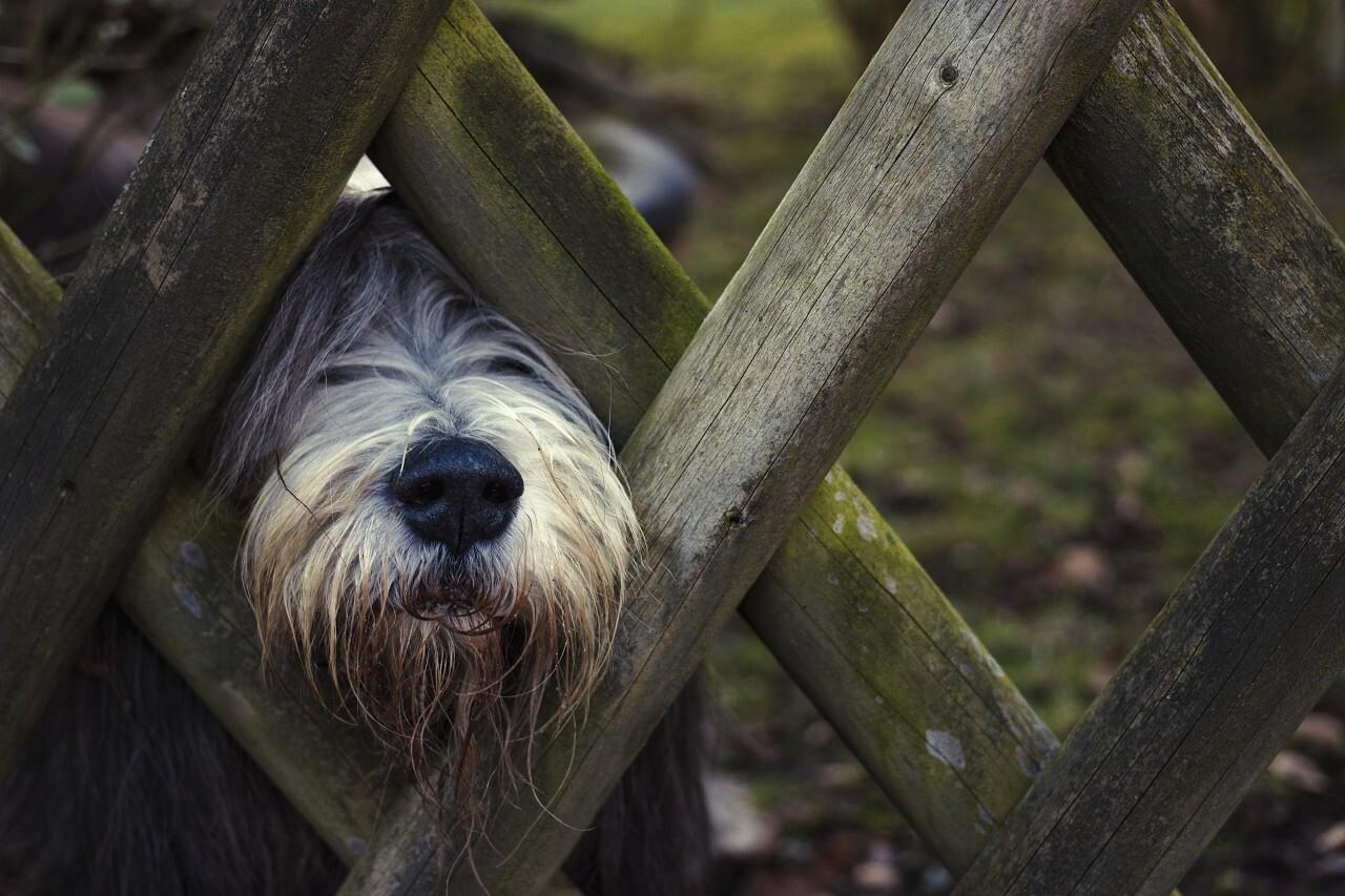 dog on the garden fence