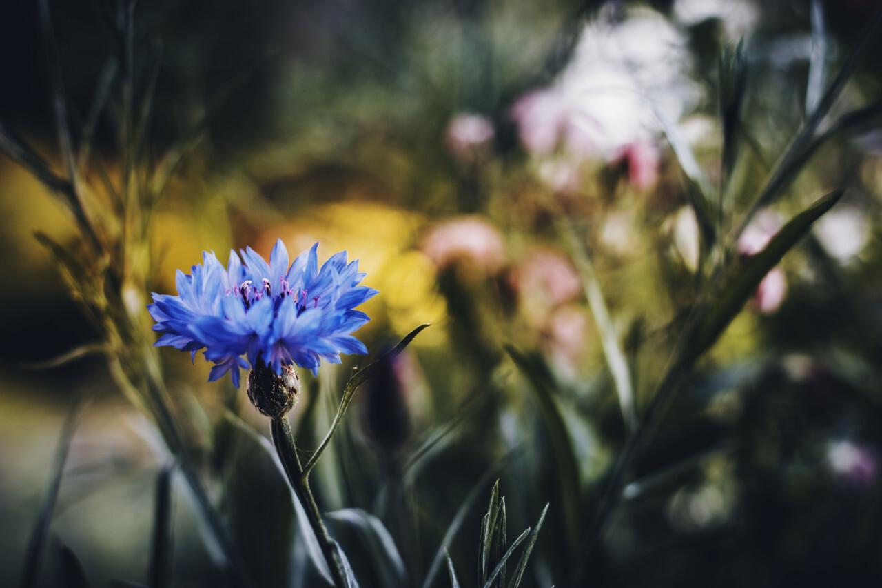 Blue cornflowers or Centaurea cyanus