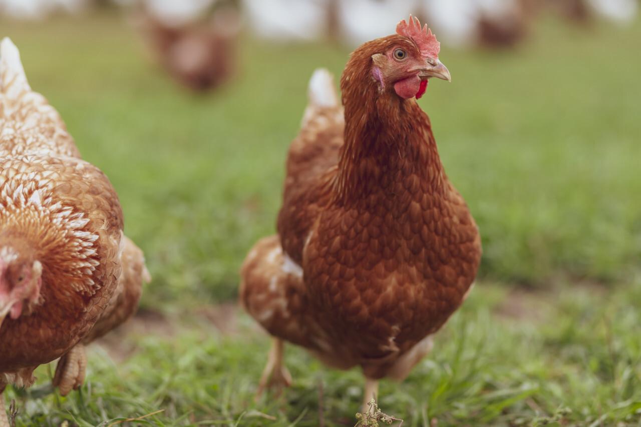 cute brown hen standing on green grass