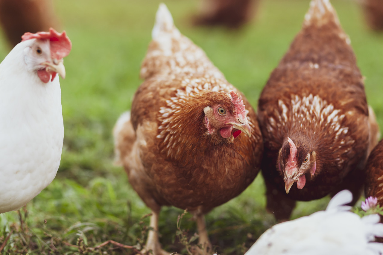 chickens in the yard graze, hens feed on grass. poultry farm