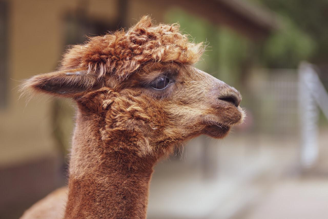 Cute Alpaca Portrait