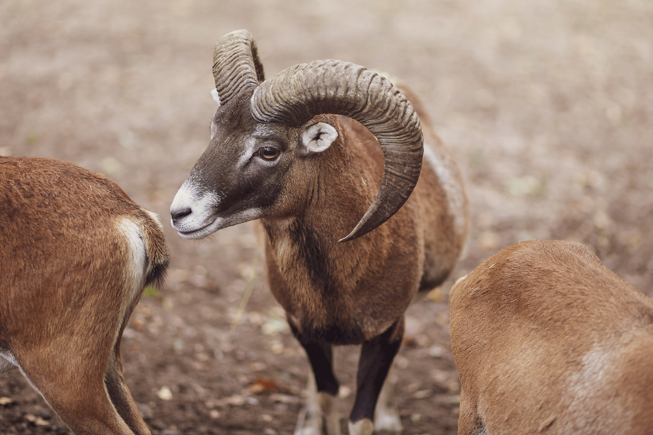 The European mouflon (Ovis orientalis musimon)