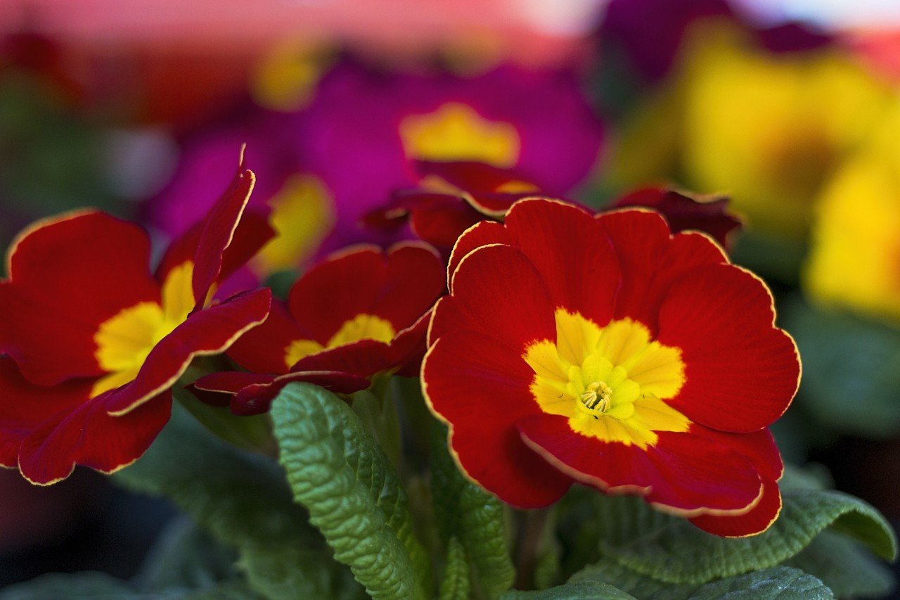 red and yellow primroses