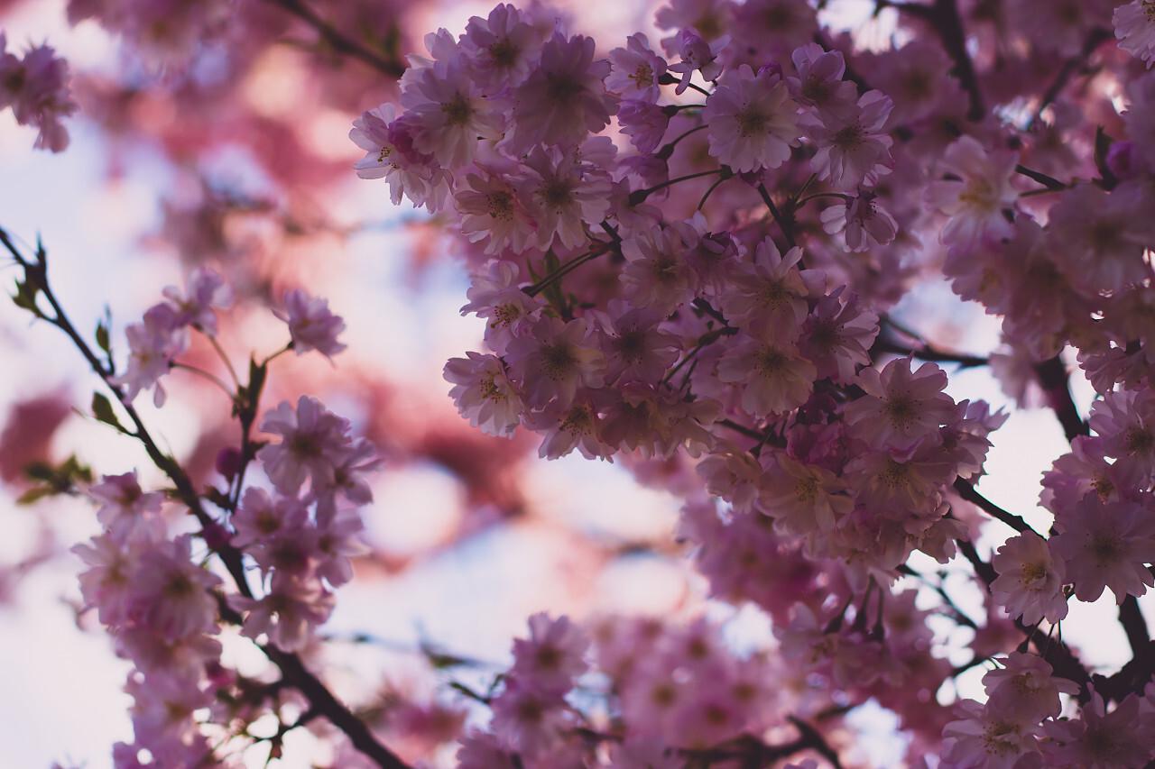 Close-up on a pink japanese sato-zakura or prunus serrulata Kanzan