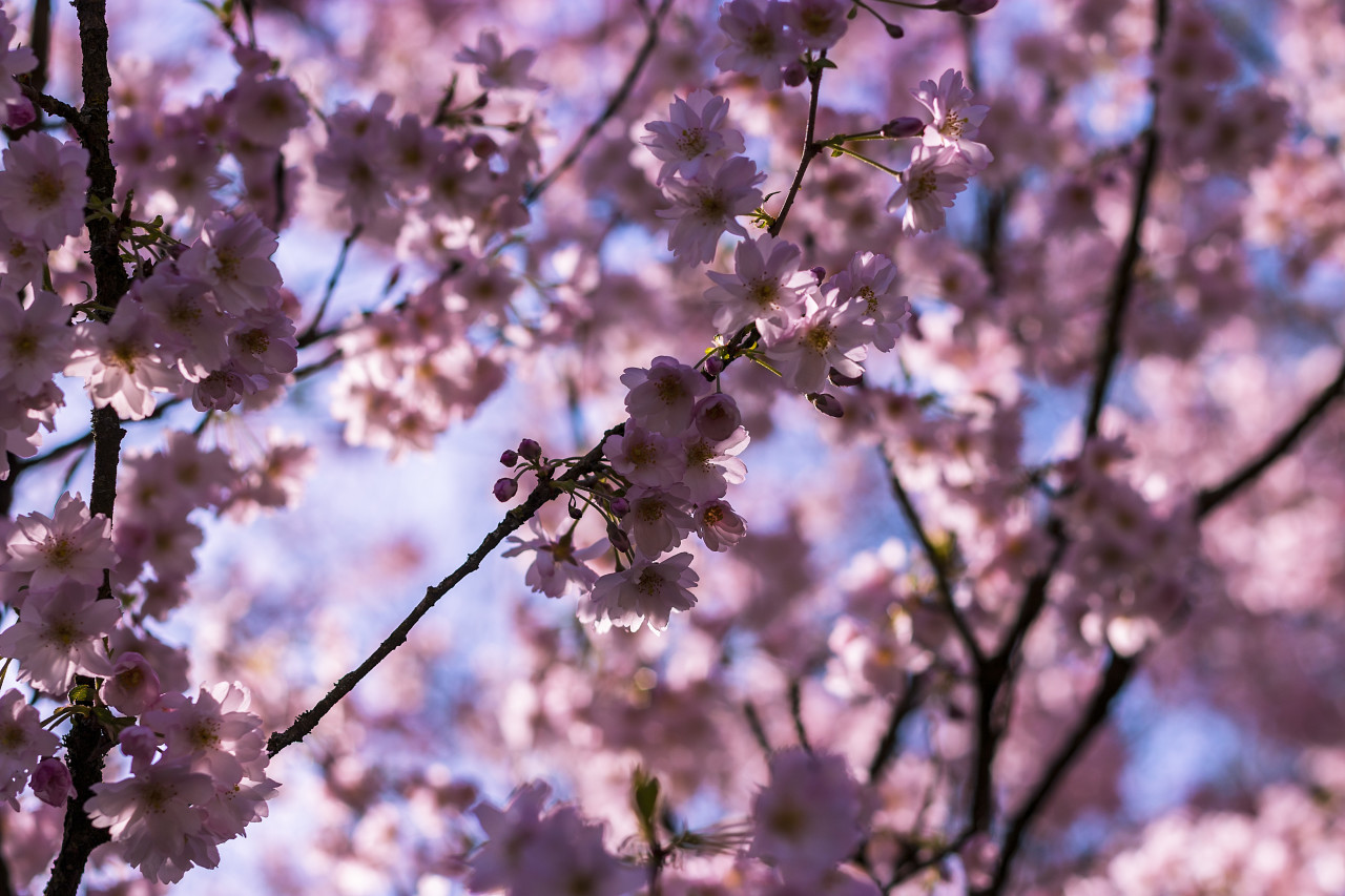 flowering japanese cherry
