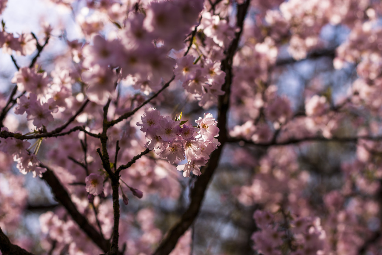 flowering japanese cherry prunus serrulata